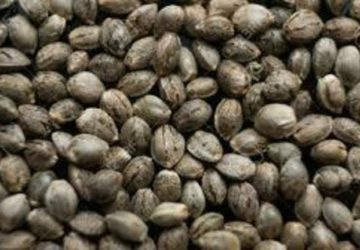 Pineapple Express Seeds (5-for-$10)
